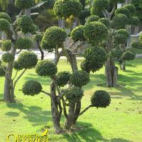 Деревья, крона которых сформирована шариками