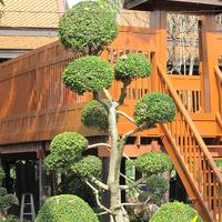 Все кусты подстрижены шариками, соответственно на дереве тоже сформированы шарики