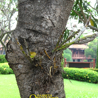 Один из способов прикрепления орхидеи, в данном случае гибридного Дендробиума, к дереву. Он просто прикручен проволокой