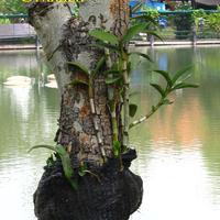 Крепление в сетке. Этот Дендробиум гораздо более крепкий и здоровый. Вероятно, то, что он находится у воды, и корни прикрыты сеткой( что мешает быстро испарятся влаге), - играет свою положительную роль