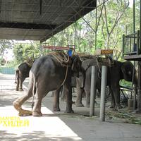 Слоны в ожидании посетителей