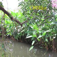 Лианы обвивают ветки и свешиваются над водой