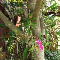 Гибридный Дендробиум в кокосах