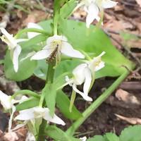 Platanthera chlorantha и пьющий нектар опылитель