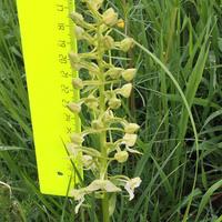 Platanthera chlorantha орхидея России