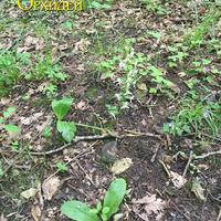 Platanthera chlorantha на лесной поляне в Адыгее