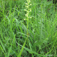 Platanthera chlorantha орхидея на лугу в Адыгее