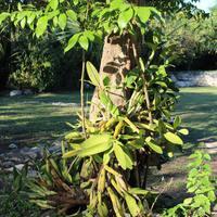 У подножья дерева Myrmecophila tibicinis в национальном парке Шкарет