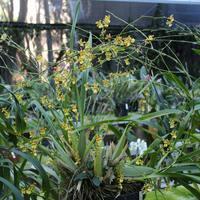 Oncidium sphacelatum,  орхидея,произрастающая в Мексике