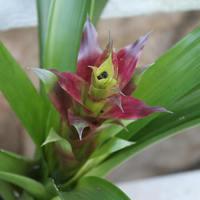 Первое цветение мексиканской бромелии