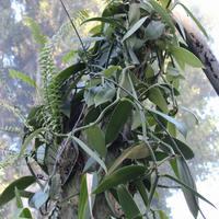Орхидея Мексики - густое переплетение ванили