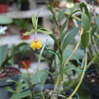 Мексиканская орхидея  Эпидендрум