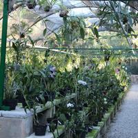 Орхидеи Мексики перемешаны с обычными гибридными Фаленопсис