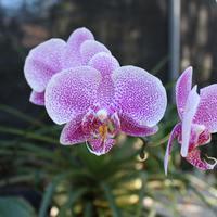 Жемчужная Фаленопсис - обитатель секции орхидей Мексики
