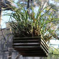 Maxillaria tenuifolia распространённая орхидея Мексики