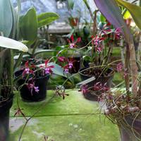 Encyclia diota atrorrubens редкий представитель орхидей Мексики, эндемик штатов Оаксака и Герреро
