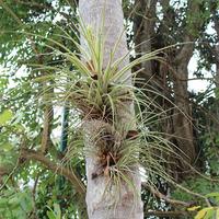 Семейство Тилландсий на дереве в парке Шкарет