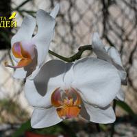 Цветущая Фаленопсис