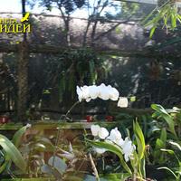 Прекрасная всеми любимая Фаленопсис рядом с Каттлеями-орхидеями Мексики
