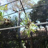 Брассавола нодоза, подвешенная в самом верхнем ярусе под солнечными лучами