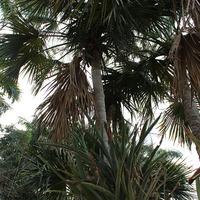 Огромная бромелия на пальме