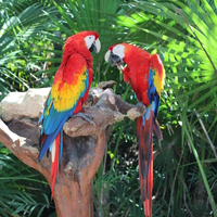 Местные попугаи Ара