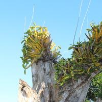 Myrmecophila tibicinis (Schomburgkia tibicinis) орхидея Мексики на старых стволах