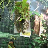Bulbophyllum lindleyan Владимира Маркина