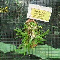 Dendrobium peguanum Владимира Маркина на выставке «Путешествие к орхидеям 2015»