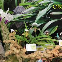 Paphiopedilum leucochyllum, Paph.charlesworthii, Paph.callosum, Paph.barbigerum Владимира Маркина на выставке «Путешествие к орхидеям 2015»