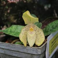 Paphiopedilum concolor Владимира Маркина