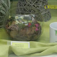 Первое место на приз «Лучшая миниатюра»-Dendrobium cuthbertsonii Надежды Слободской