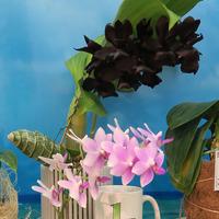 Первое место на приз «Лучшая гибридная орхидея» - Mormeara Millenium Magic Юлии Соколовой