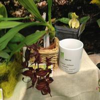 Первое место на приз «Лучшая видовая орхидея» - Cycnoches cooperi Марины Ражиной