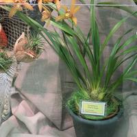 Постоянный участник выставки орхидей в музее им.К.А.Тимирязева Цимбидиум Chen's Ruby Людмилы Дроздовой