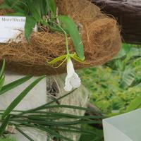 Encyclia mariae из коллекции Ольги Изотовой