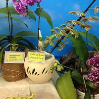 Catasetum barbatum, Phalaenopsis hybrid Дмитрия Джариашвили