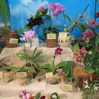 Гибридные Фаленопсис на выставке «Путешествие к орхидеям 2015»