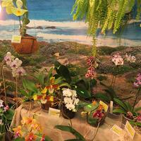 Rossioglossum grande Елены Авдеевой и гибридные Фаленопсис