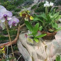 Rossioglossum grande Елены Авдеевой