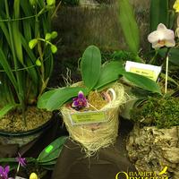 (Phalenopsis violacea x Phal. Be Tris) x Phal. violacea Снежаны Лобачевой