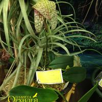 Bulbophyllum antenniferum Игоря Белицкого