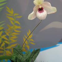 Paphiopedilum hybrid Сергея Беляева на выставке «Путешествие к орхидеям»