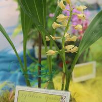 Xylobium squalense Сергея Беляева в сказке на выставке «Путешествие к орхидеям 2015»
