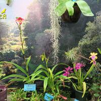 Мильтонии, Фрагмипедиумы в витрине Владимира Чекмарева на выставке «Путешествие к орхидеям 2015»