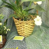 Angraecum magdalenae Татьяны Финенко