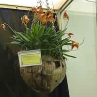 Masdevallia hybrida