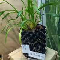 Витрина Главного Ботаническог сада. Последняя модель горшка для выращивания орхидей