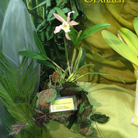Cattleya harrisoniana Владимира Маркина