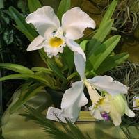Cattleya gaskelliana var. alba Галины Грузиновой